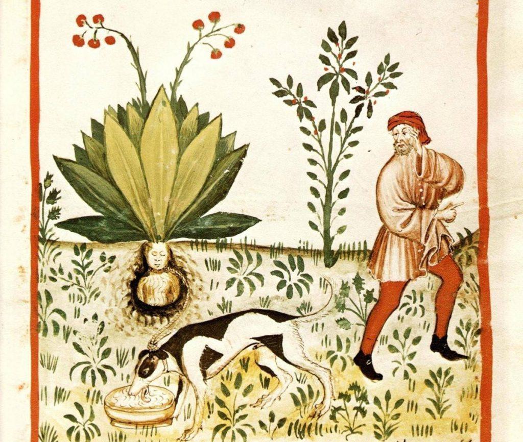 兼具毒性與療效的曼陀羅草 秘虫